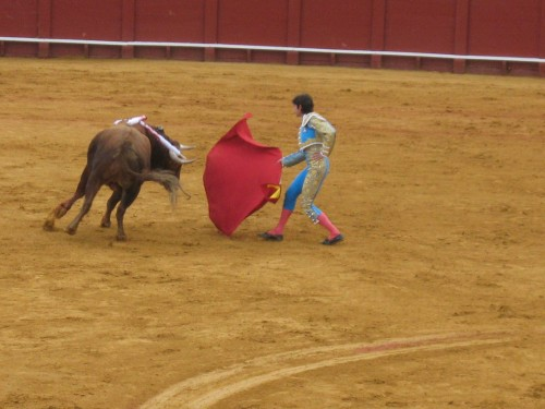 Bull Charging at Cape