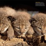 Can the country save the earth's most endangered cat? – national wildlife federation
