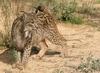 Spanish lynx