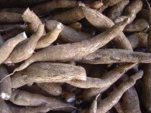 Photograph of cassava root.